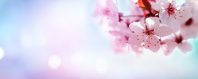 Cherry blossoming or sakura branches against blue sky in sunny light. Spring background from white flowers with bokeh outdoors, lovely landscape of nature.