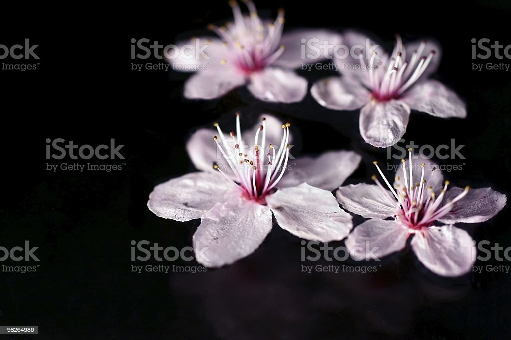 cherry blossoms 2 royalty-free stock photo
