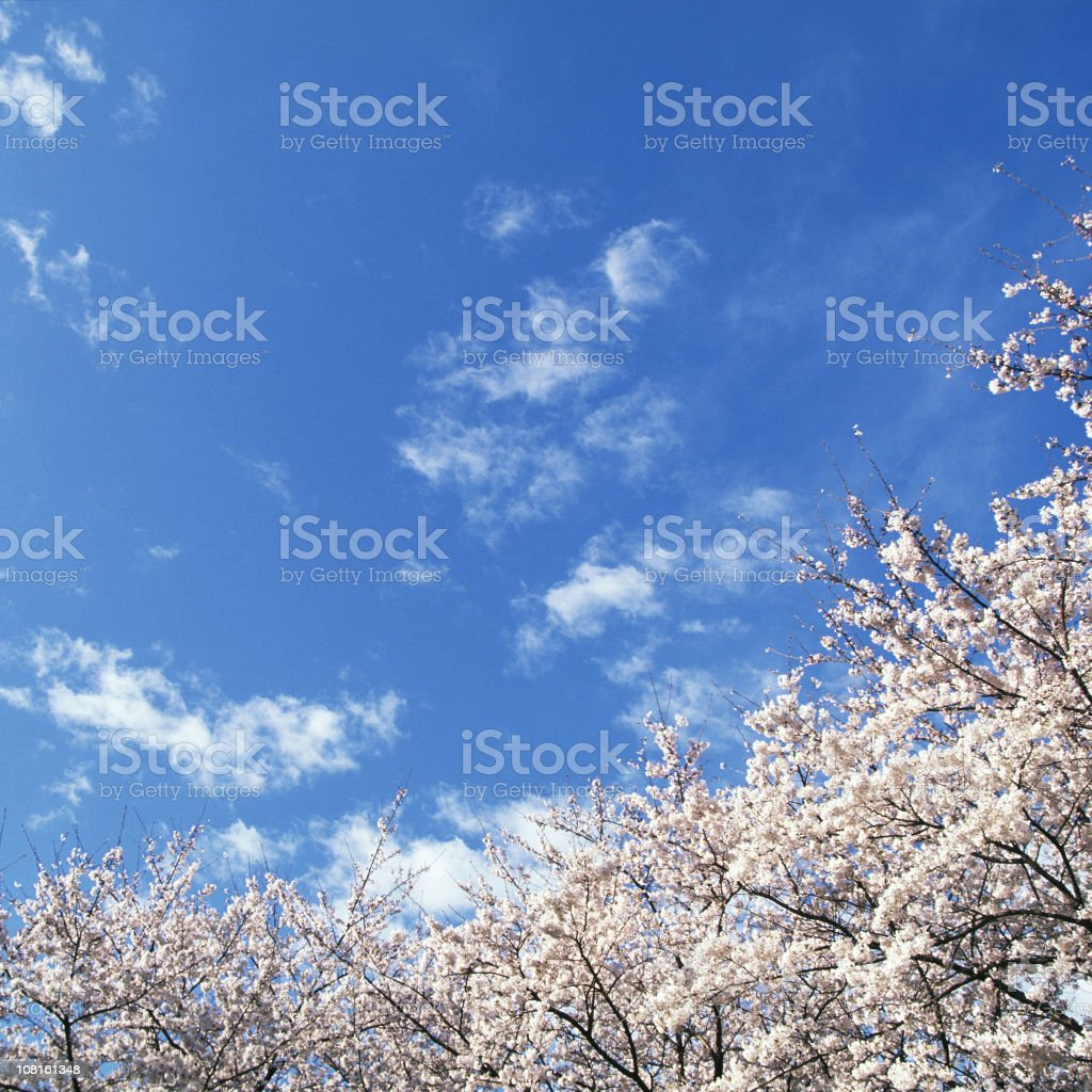 Cherry blossoms against blue sky royalty-free stock photo