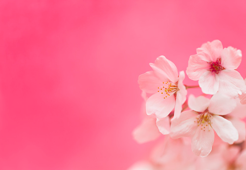 Cherry Blossoms Against Pink Background