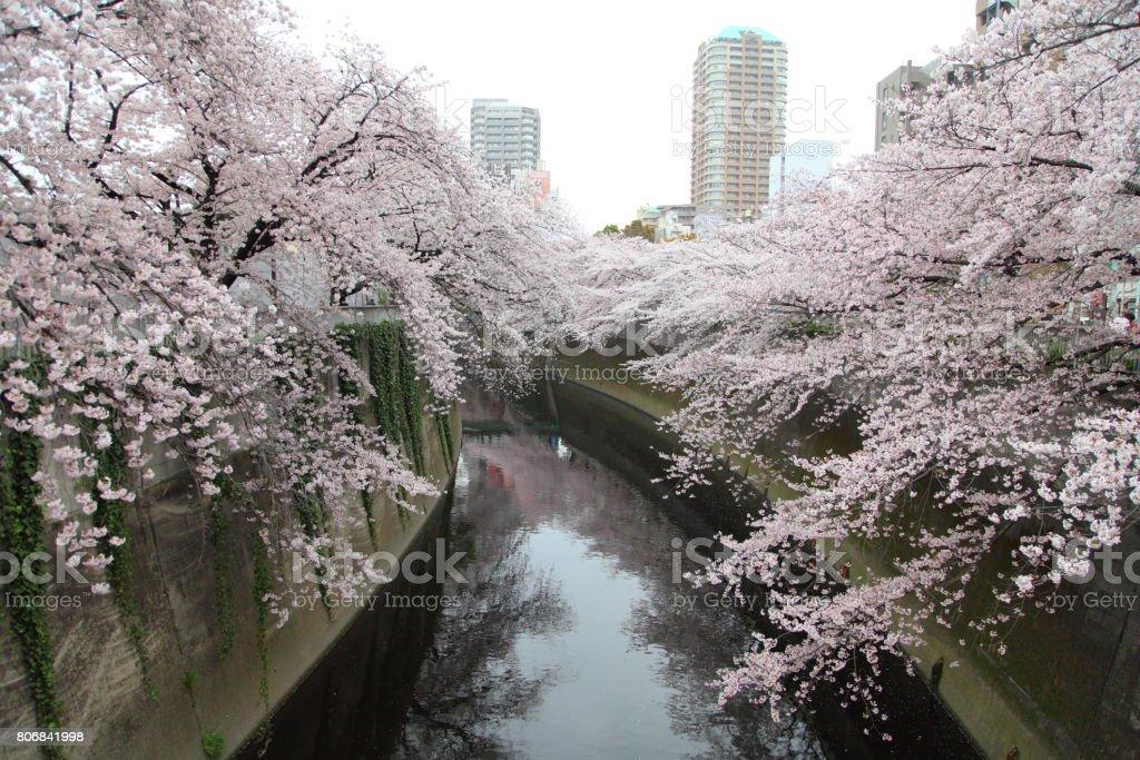 Cherry blossoms along the Kanda River in Tokyo, JAPAN stock photo