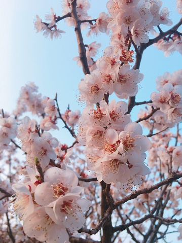 Blossom Stream