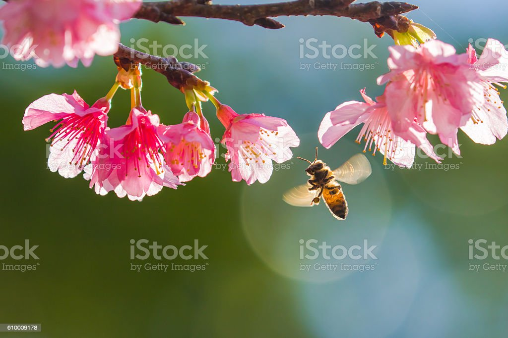 Cherry blossoms and bee stock photo