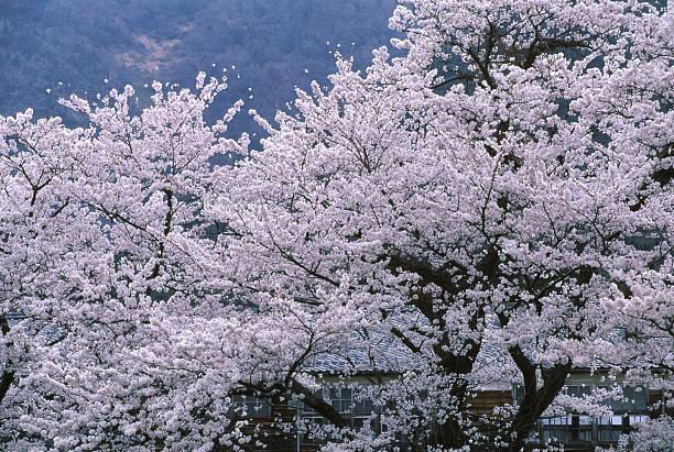 桜や closedown ストックフォト