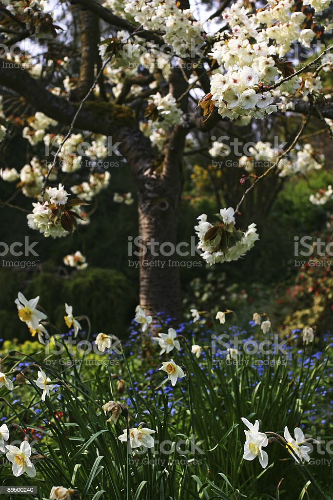 cherry blossoms and daffodil blooms royaltyfri bildbanksbilder
