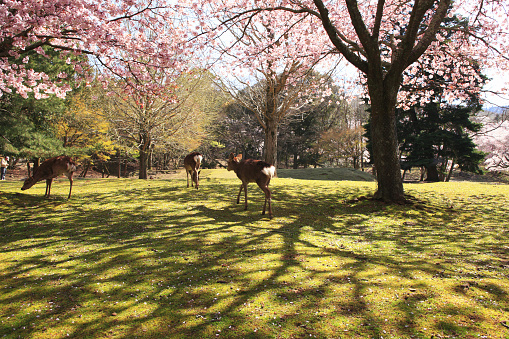 Cherry Blossoms and deers
