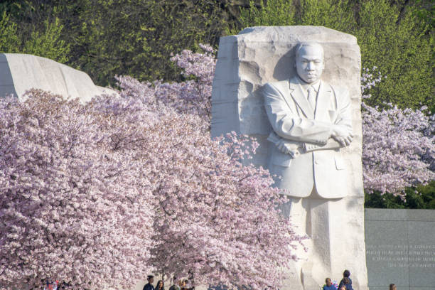 Cherry blossoms and Dr. King MLK statue seems surrounded by blossoming cherry trees at the Martin Luther King, Jr., Memorial in Washington, DC. martin luther king jr photos stock pictures, royalty-free photos & images