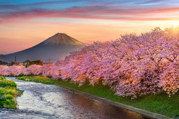 Cherry blossoms and Fuji mountain in spring at sunrise, Shizuoka in Japan. stock photo