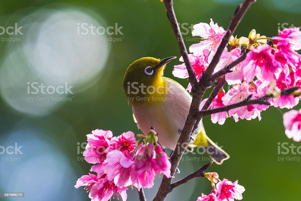 Cherry blossoms and Japanese white-eye stock photo