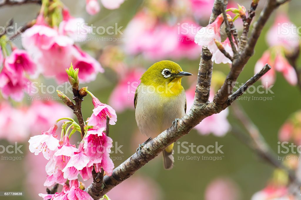 Cherry blossoms and Japanese white-eye​​​ foto