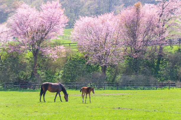 Cherry blossoms and ranch Spring ranch in Hokkaido , japan. paddock stock pictures, royalty-free photos & images