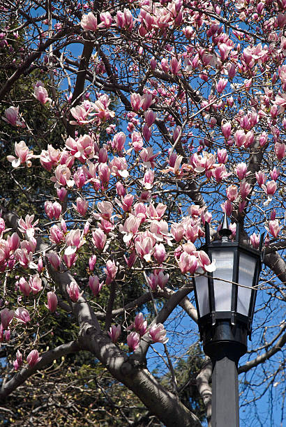 Cherry Blossoms and Street Lamp stock photo