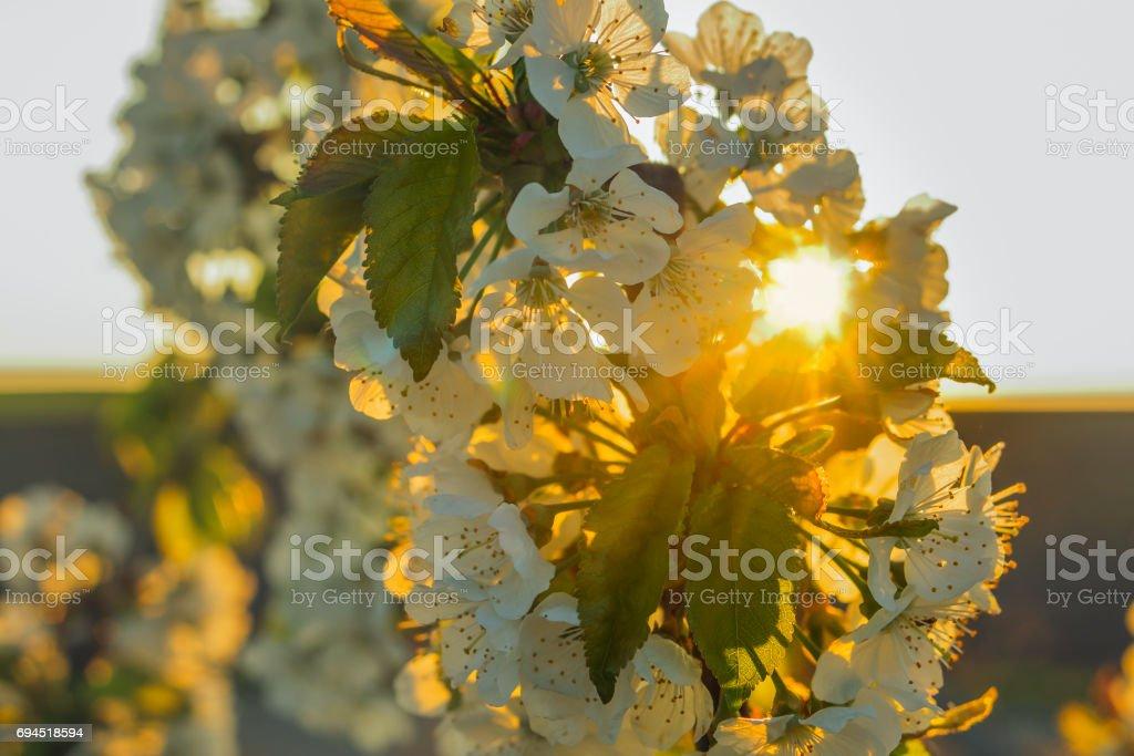 Kirschblüten und Sonnenuntergang – Foto