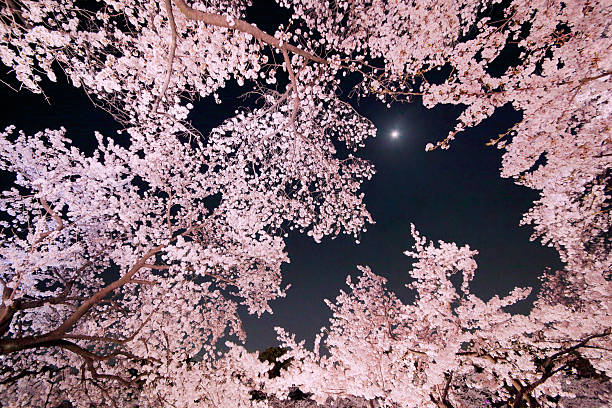 Cherry blossoms and the moon stock photo