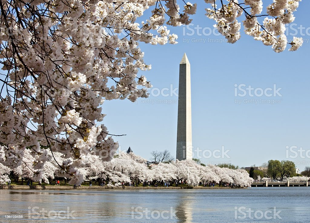 Cherry Blossoms and the Washington Monument royalty-free stock photo