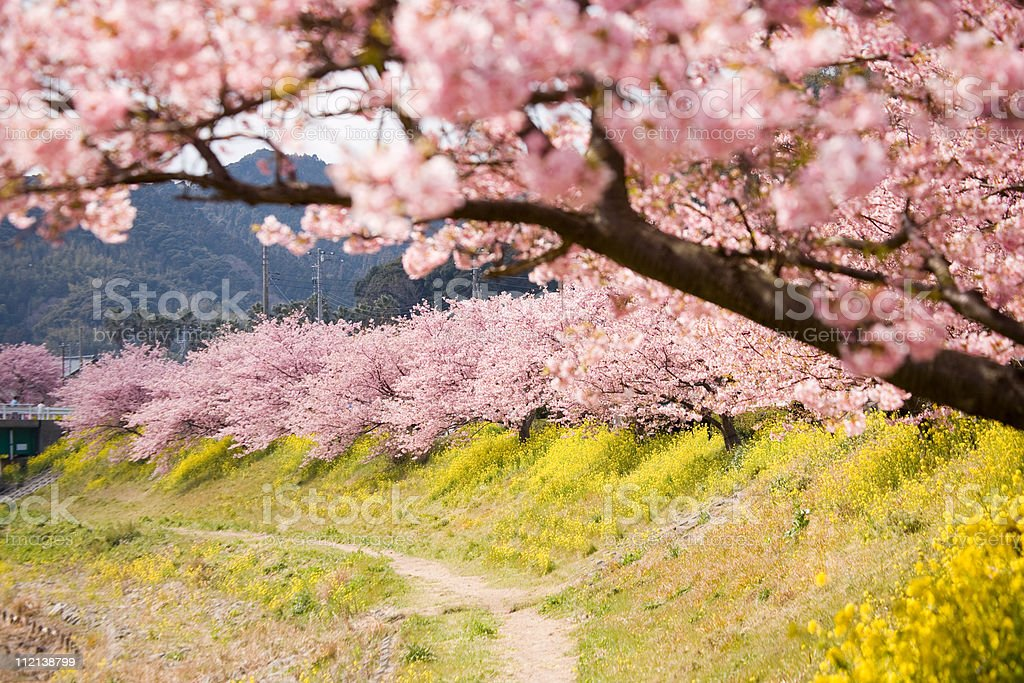 Cherry blossoms and yellow flowers. royalty-free stock photo