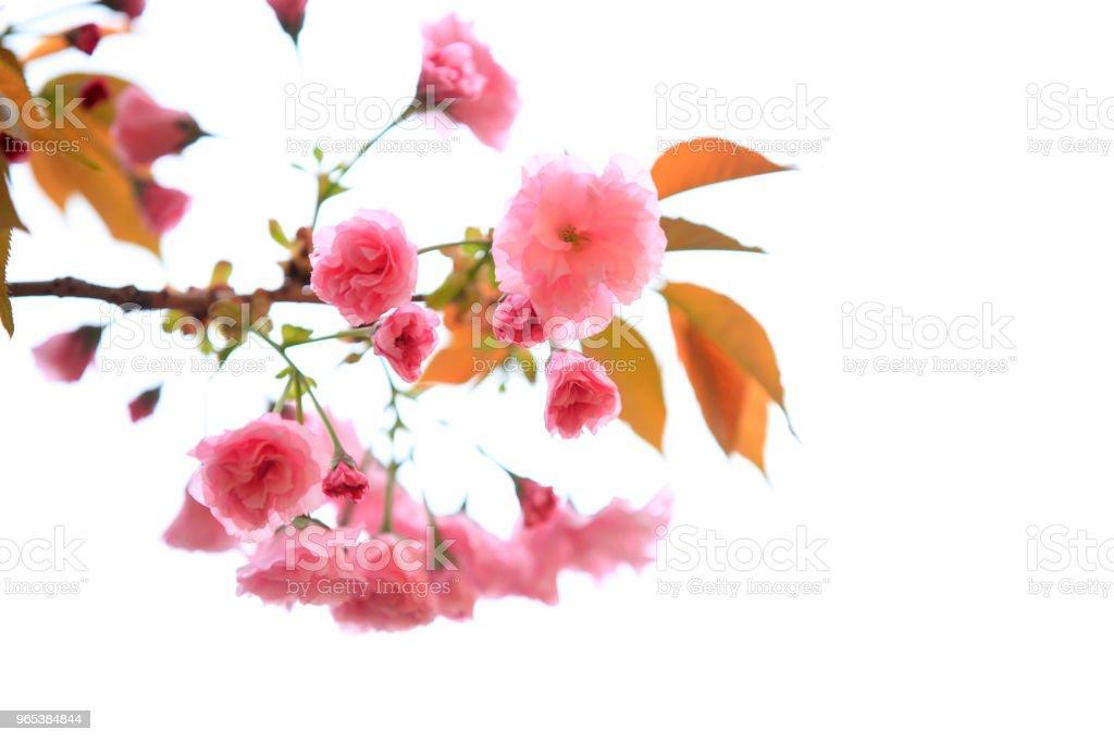 벚꽃이 피는 - 로열티 프리 0명 스톡 사진