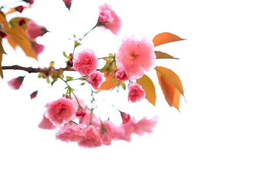 벚꽃이 피는 0명에 대한 스톡 사진 및 기타 이미지