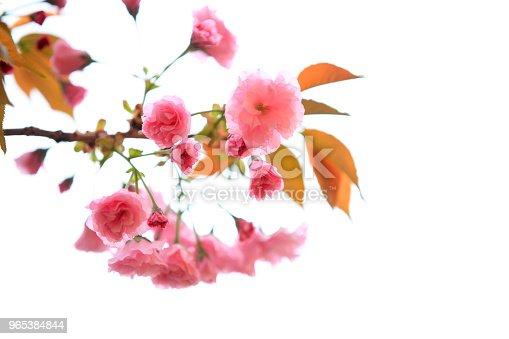 Cherry Blossoms Are Blooming - zdjęcia stockowe i więcej obrazów Bez ludzi