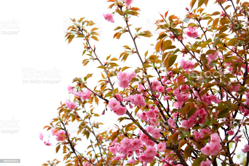 Cherry blossoms are blooming royalty-free stock photo