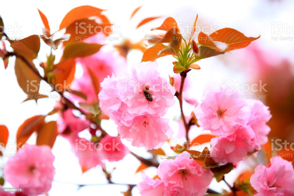Cherry blossoms are blooming zbiór zdjęć royalty-free