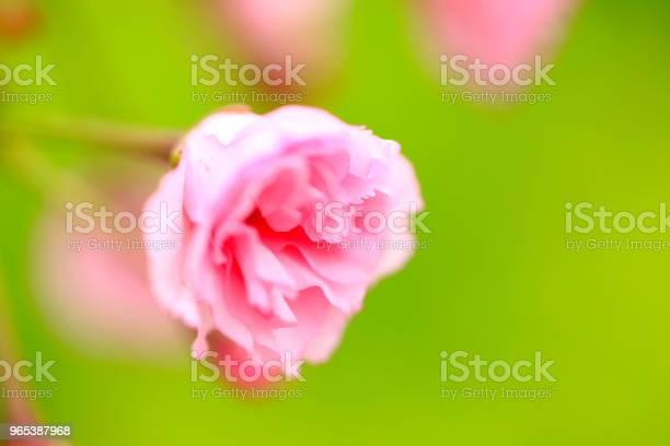 Kwitnące Są Kwiaty Wiśni - zdjęcia stockowe i więcej obrazów Bez ludzi