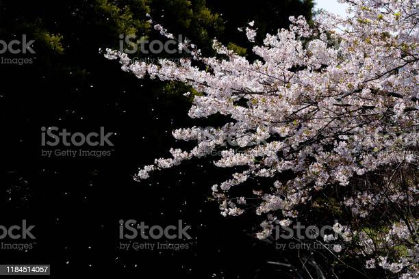 Cherry blossoms are falling picture id1184514057?b=1&k=6&m=1184514057&s=612x612&h=82camsfsqtgjidu360ens8rvk34l4hsdbws5kltq85s=