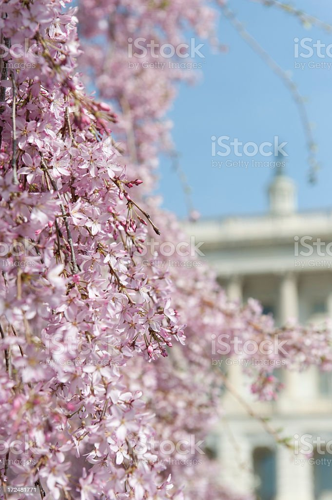 cherry blossoms at Capitol hill royalty-free stock photo