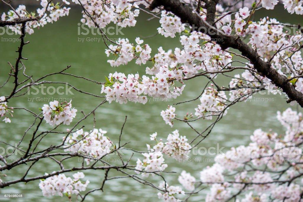 Cherry Blossoms at Chidorigafuchi moat,Chiyoda,Tokyo,Japan in spring. royalty-free stock photo