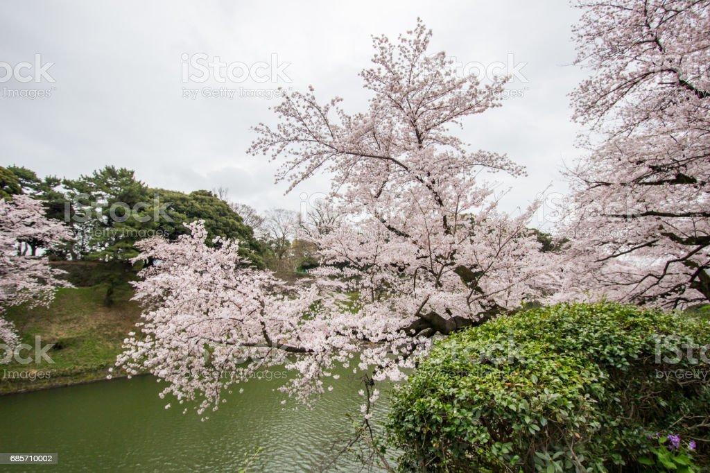 Chidorigafuchi 해 자, 치 요 다, 도쿄, 일본 봄에서 벚꽃이 royalty-free 스톡 사진