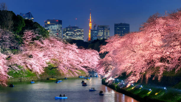 Cherry blossoms at Chidorigafuchi park in Tokyo, Japan. stock photo