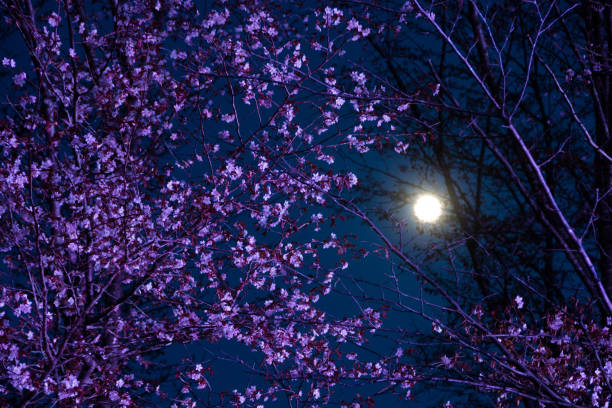 cherry blossoms at full moon night - cherry blossoms imagens e fotografias de stock