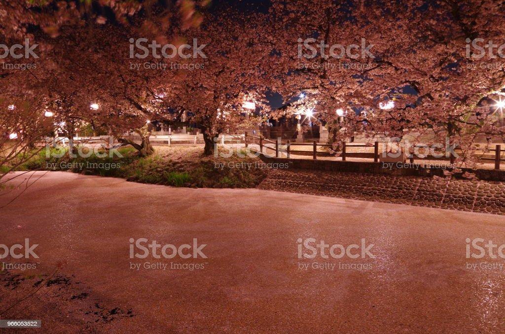 Körsbär blommar på natten - Hyoutan' ike i Saijo city, Ehime prefektur, Japan - - Royaltyfri April Bildbanksbilder