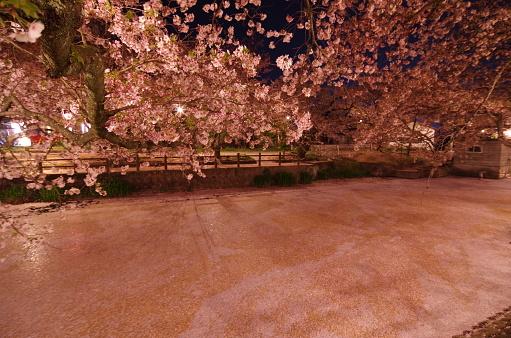 Körsbär Blommar På Natten Hyoutan Ike I Saijo City Ehime Prefektur Japan-foton och fler bilder på April