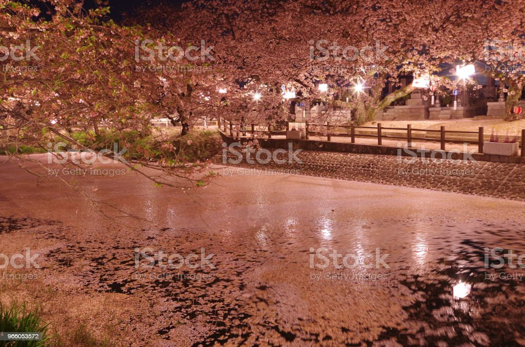 Cherry blossoms at night -Hyoutan' ike in Saijo city, Ehime Prefecture, Japan- - Royalty-free April Stock Photo