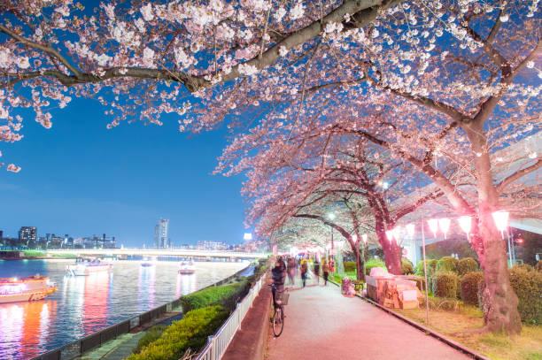 cherry blossoms at night in sumida park - cherry blossoms imagens e fotografias de stock