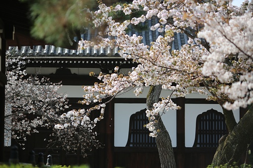 Cherry blossoms at temple in Kyoto