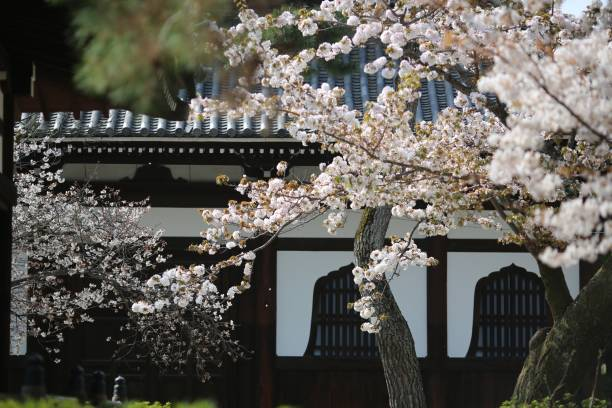 京都寺廟櫻花圖像檔