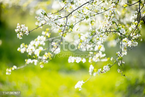 istock Cherry blossoms at the park, spring day, april 1141382827