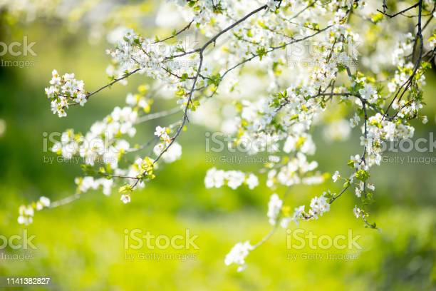 Photo of Cherry blossoms at the park, spring day, april