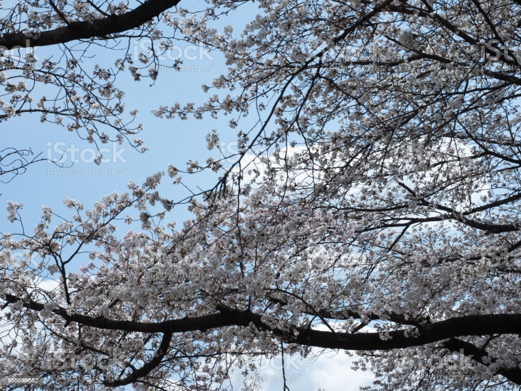 Cherry blossoms bloom on big trees. stock photo