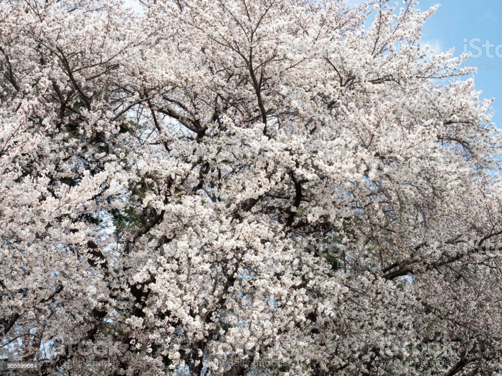 Cherry blossoms bloom on big trees stock photo