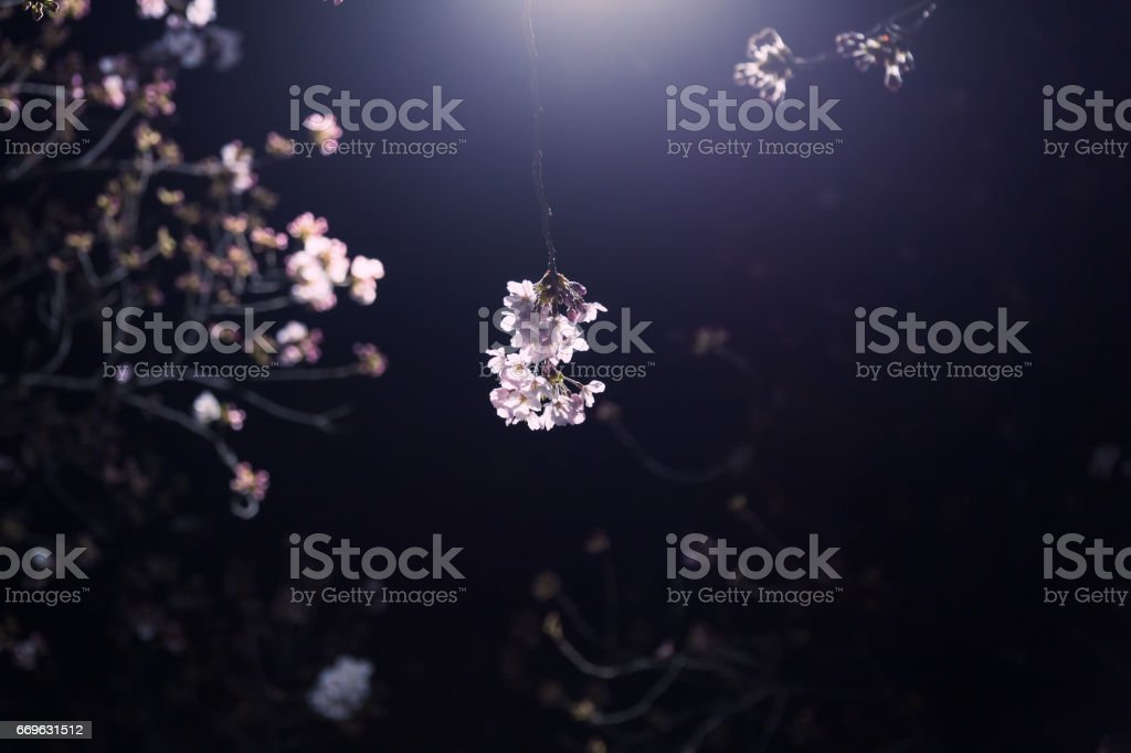 Cherry blossoms blooming at night stock photo