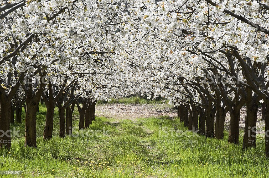 Cherry blossoms blooming in Caderechas Valley, Spain stock photo