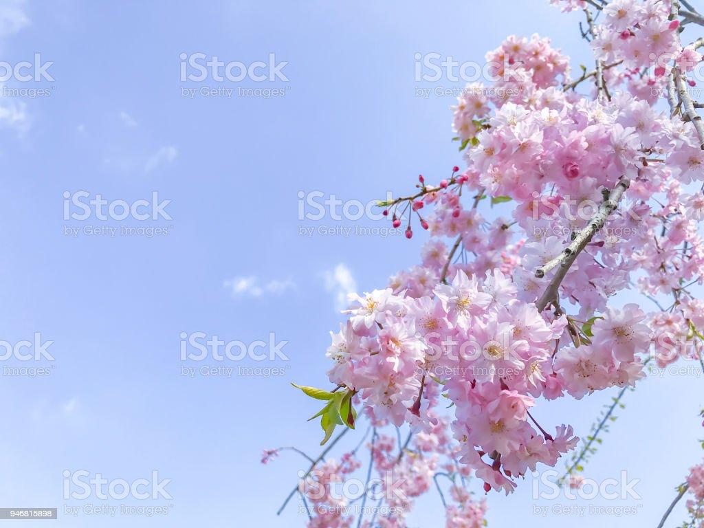 Cerisiers En Fleurs Au Printemps Du Japon Photos Et Plus D Images