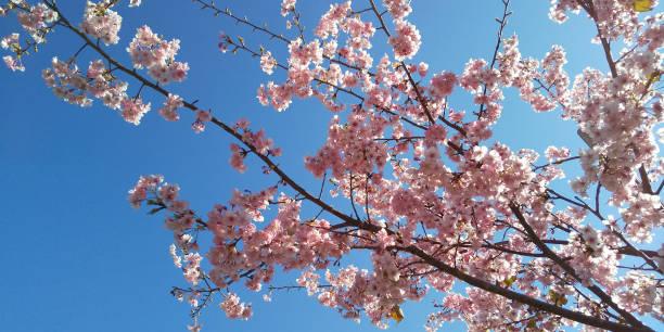 桜桜見る写真 ストックフォト