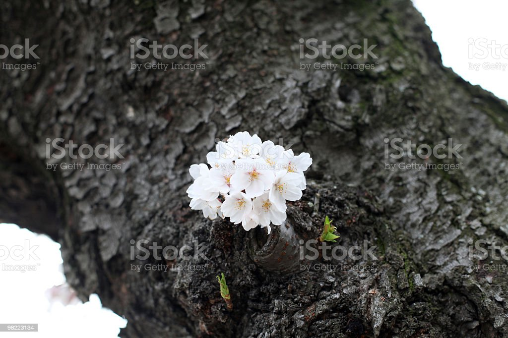 Cherry Blossoms - Close up royalty-free stock photo