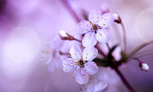 Cherry Blossoms. Pink Purple Blossoming cherry branch close-up on blurred abstract background.