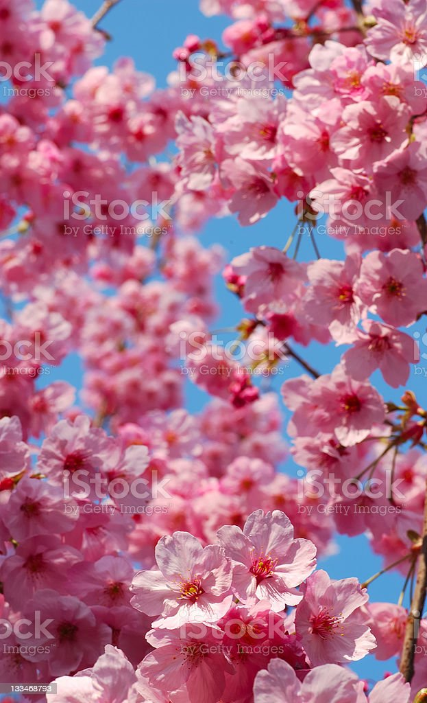 Cherry blossoms dream royalty-free stock photo