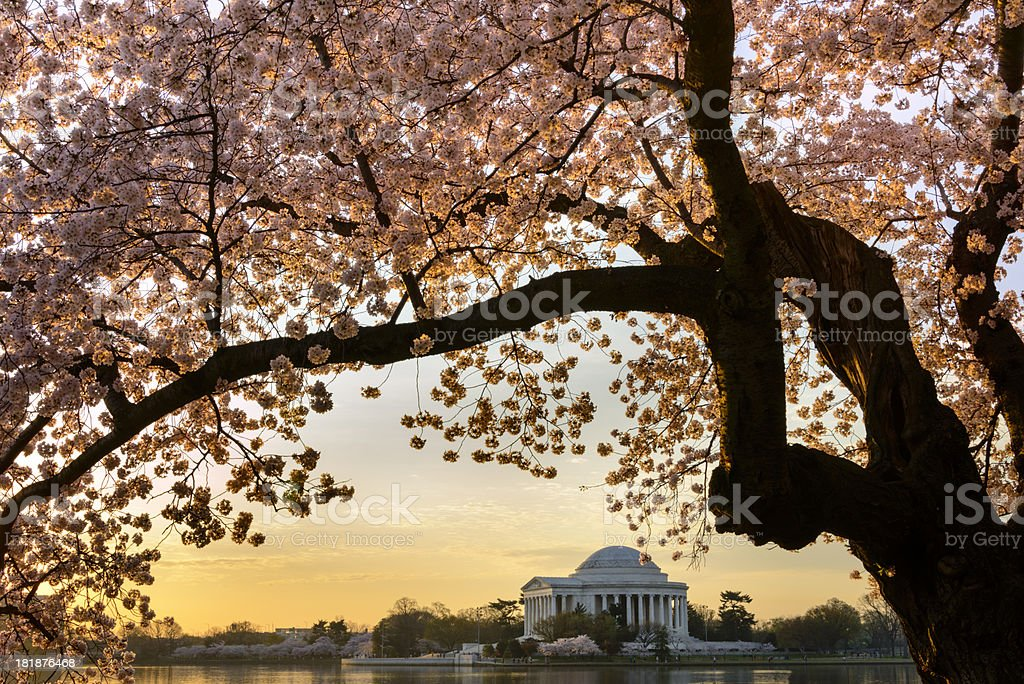 Cherry blossoms frame the Jefferson Memorial in Washington DC royalty-free stock photo